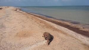 На берегу Азовского моря обнаружили мертвых дельфинов - «Керчь»