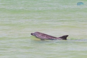 Крымский мост сосредоточил у себя дельфинов - «Керчь»