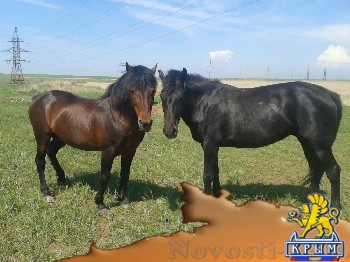 Помогите найти лошадей - «Новости Феодосии»