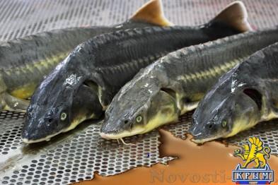Севастопольских ИП ждут субсидии на занятие товарным рыбоводством  - «Бизнес»