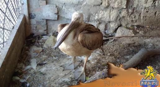 Инспекторы минприроды Крыма спасли и отправили на реабилитацию истощенного птенца розового пеликана - «Общество Крыма»