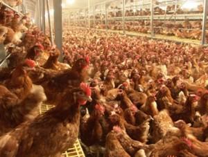 Из Крыма в Казахстан начали экспортировать мясо птицы     - «Экономика Крыма»