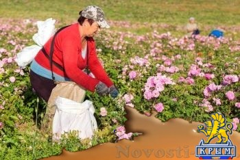 Собрано пятьдесят тонн лепестков роз! Легендарная «Крымская Роза» оживает (ФОТО) - «Экономика Крыма»