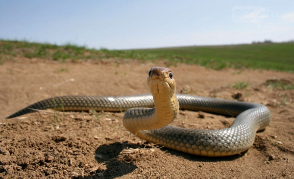 Самые опасные крымские змеи: что нужно знать туристу, - ФОТО - «Новости Севастополя»